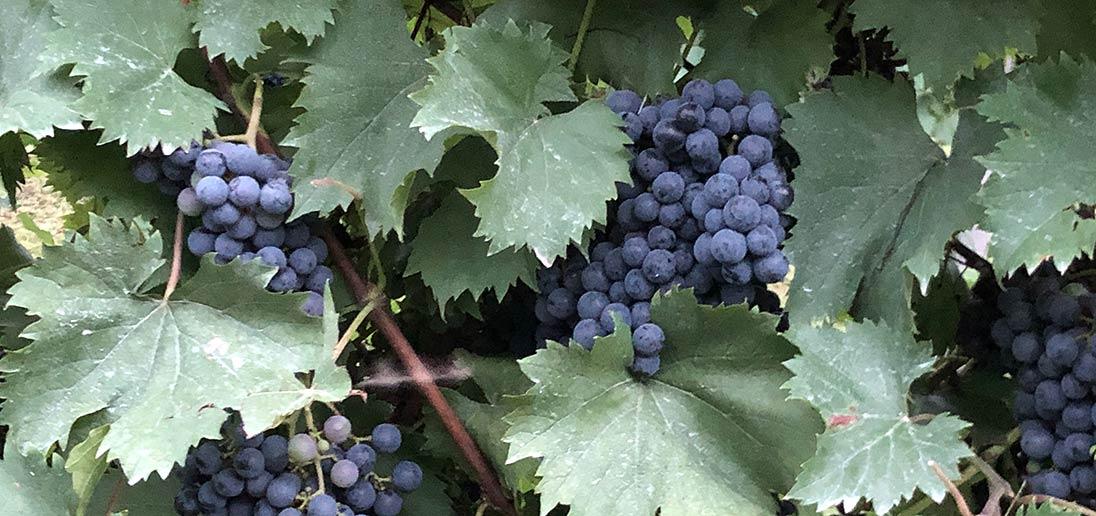 Grapes on a vine.