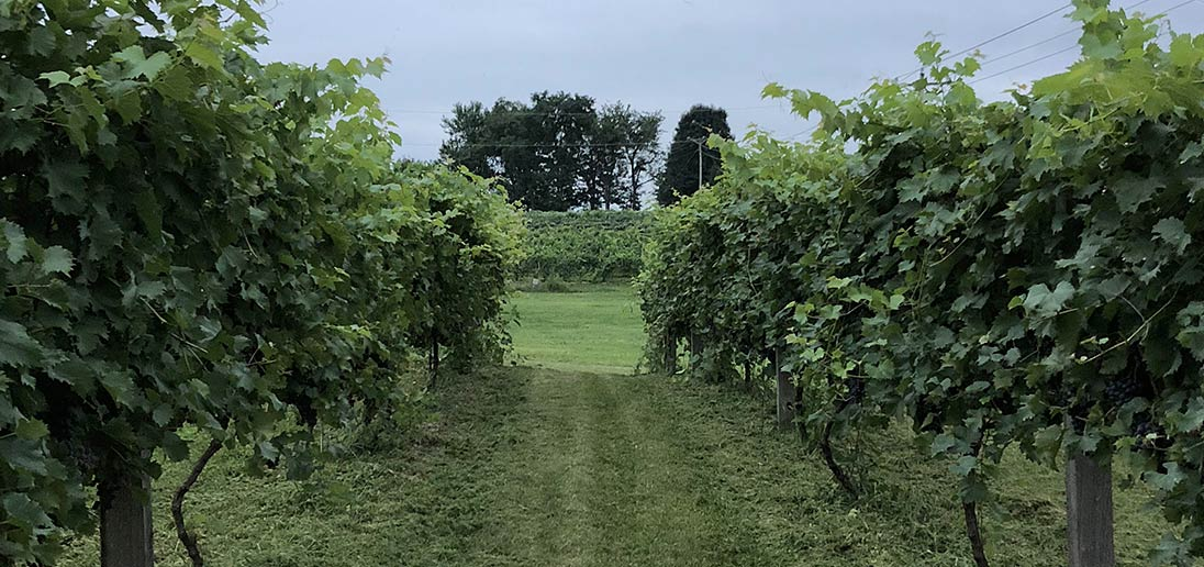 Rows of grapes in our vineyard.